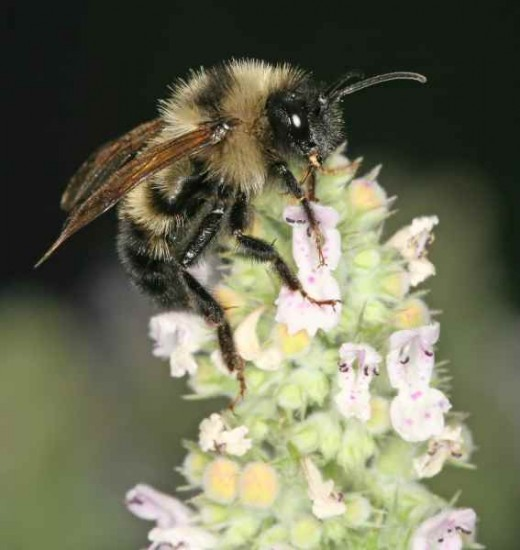 bee on a catnip flower