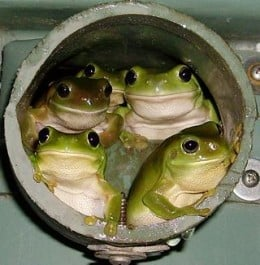 Not in a 'water tank' as such, but these frogs are every bit as happy as those in the Dubbo Aeradio water supply