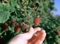 picking loganberries