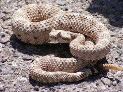 The Rattlesnake Roundup in Sweetwater Texas