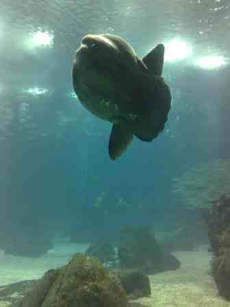 The Sunfish. Strangely alluring. And incredibly slow. Don't bother waiting for it to get close to you. The Oceanarium will close. Go to IT.