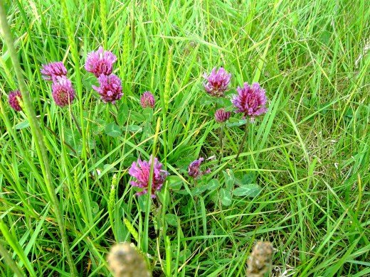 Red clover stems arise from a common root. note the inverted V markings on the foliage. Photograph by D.A.L.