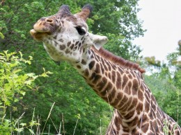 Giraffe at the Cleveland Metroparks Zoo