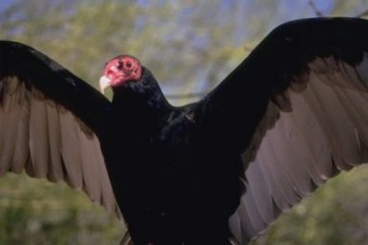 Turkey vultures (also known as buzzards in the southern United States) are large blackish brown birds that can be found throughout North America from southern Canada southward.