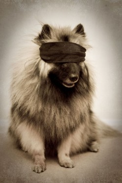 Beautiful Dogs like to play hide-and-seek also! A blindfolded dog is an unusual sight!