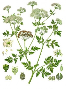 19th Century Illustration of Poison Hemlock, the final drink of Socrates.  The author of the book being reviewed and the author of the article do not recommend using, or even touching this plant.