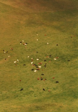 Arial view of the Parker Ranch with cattle below
