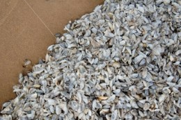 zebra mussels are the latest threat to the great lake system and have a rapid impact. In one case, they destroyed an entire ecosystem in a single year.
