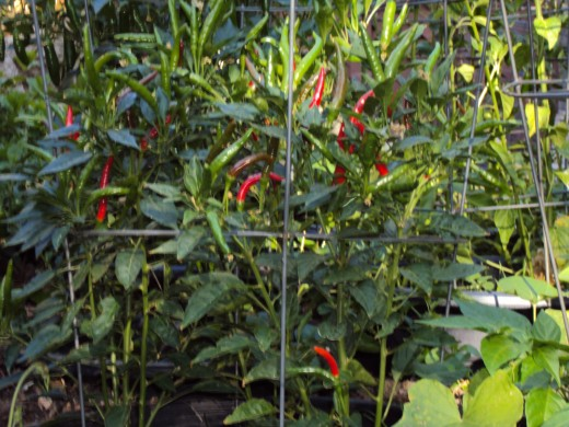 Looking at the chili peppers in the garden.