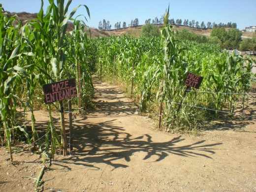Get lost in an acre of corn stalks at the Peltzer Pumpkin Farm.