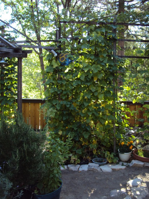 The beans are climbing up the netting and have reached an impressive height. There is also a marigold flower plant in the bottom right-hand corner, which lends interest to this picture.