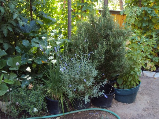Potted thyme, lavender, and many other plants.