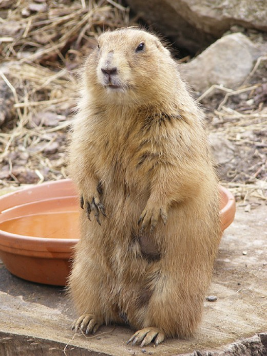 Newquay Zoo: Prairie Dog,