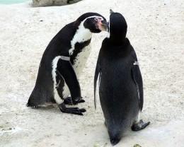 Newquay Zoo: Penguins