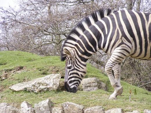 Newquay Zoo: Zebra