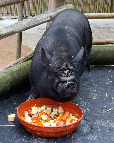 Newquay Zoo: Big Black Pig