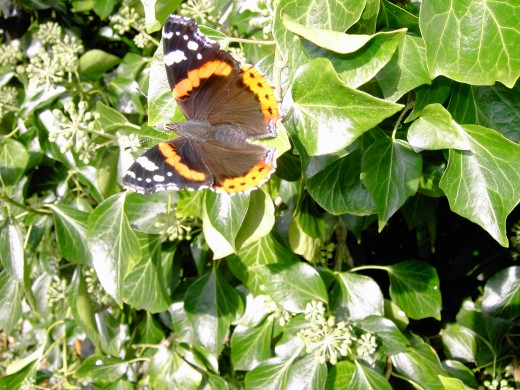 Ivy flowers attract butterflies such as the comma butterfly above and the red admiral. Photograph by D.A.L.