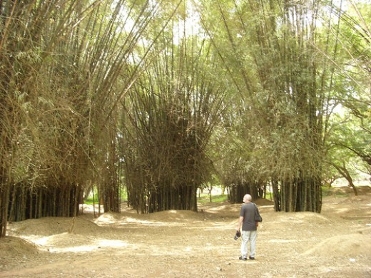 Bamboo Grove in Cubbon Park