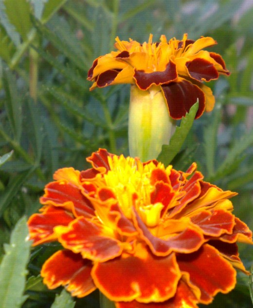 This close up of the Afrikaner flower was taken in my garden.
