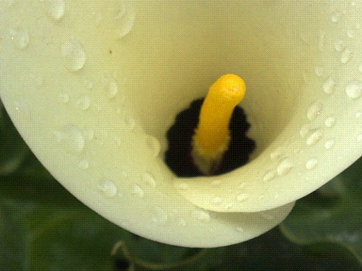 This lily was also taken in my garden. Notice the black centre. Lilies always remind me of the Lily of the Valley, Jesus
