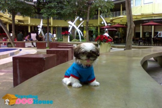 Shantee the traveling dog in The Serendra. Photo by http://travelingdoghouse.com/