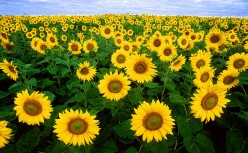 Sunflowers - Video of Amazing Plants That Follow the Sun