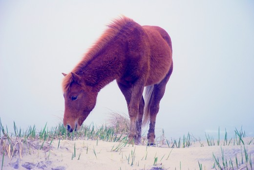 One of the Assateague Wild Horses on the Beach.