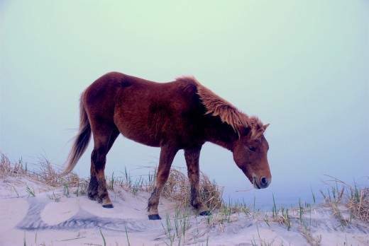 The wild horses will walk along the Beach at Assateague Island.