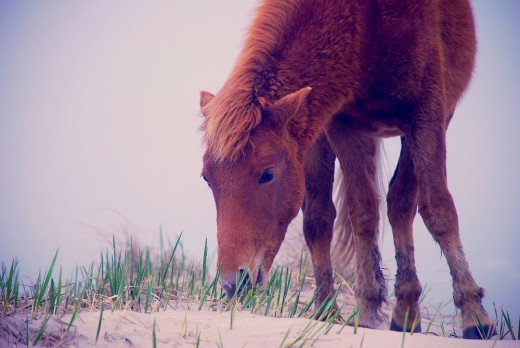 The Wild Horses will graze on the dune grass and any other vegetation they can find on the on the Island.