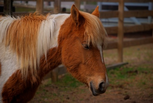 One of the Chincoteague Ponies.