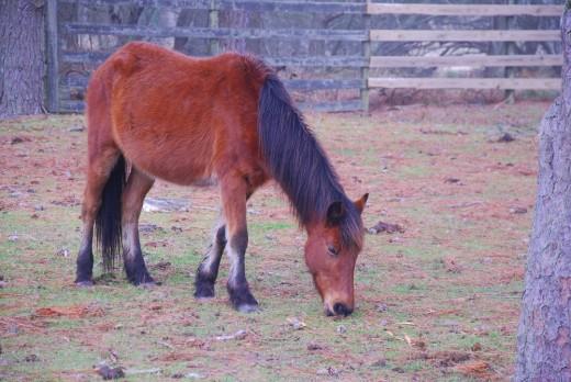 A Chincoteague Pony.