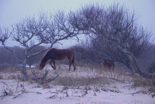 Chincoteague Ponies grazing in the wild on Assateague Island.