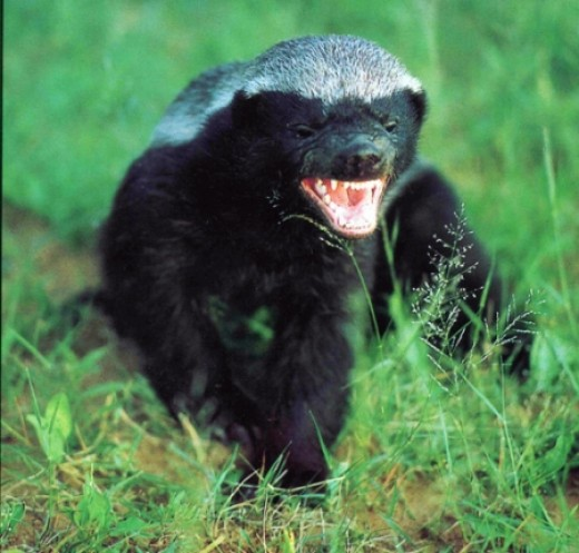 funny honey badger pictures. Wolverine vs honey badger