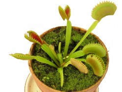 The Venus Flytrap - Videos of a Plant That Catches Its Food