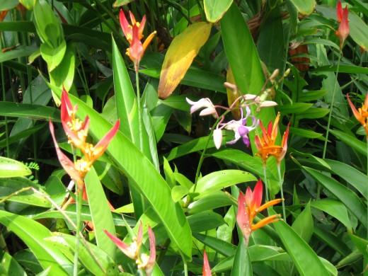 Bird of Paradise in Bloom in Hawaii