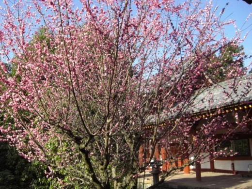An early blooming sakura/cherry tree (imagine a whole orchard of these decked out in pink petals).