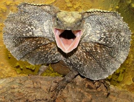A Frilled Dragon Displaying
