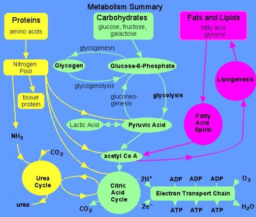 glycogenolysis pathway