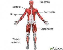 The Muscles are another target organs of the Insulin Hormone