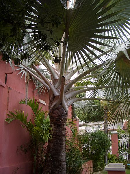 Palms, can be found everywhere on St. Thomas