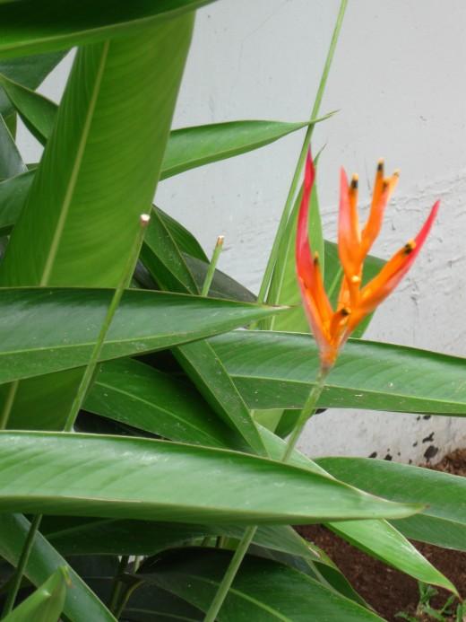 Bird of Paradise in Bloom - Hawaiian Islands