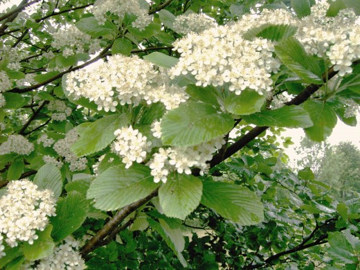 Whitebeam produces clusters of white flowers. Photograph by D.A.L.