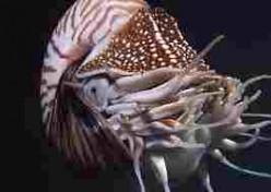 The Spellbinding Nautilus Pompilius
