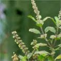 The tulsi herb