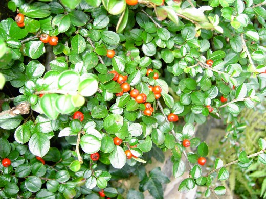 Cotoneaster is taking the specialised habitat required by the Lancaster whitebeam. Photograph by D.A.L.