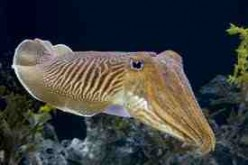The Fascinating Cuttlefish