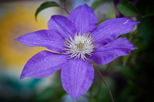 Macro photo of a Clematis bloom