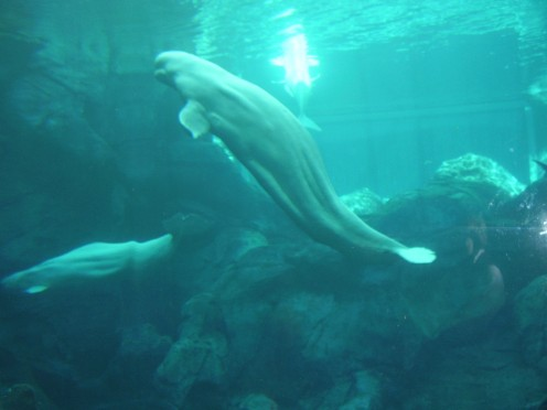 Beluga Whales smiling for the camera. photo taken by my wife.