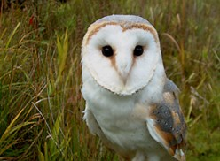 Barn Owls:Natural Rodent Control