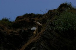 A wild goat in the hills of Mcleodganj